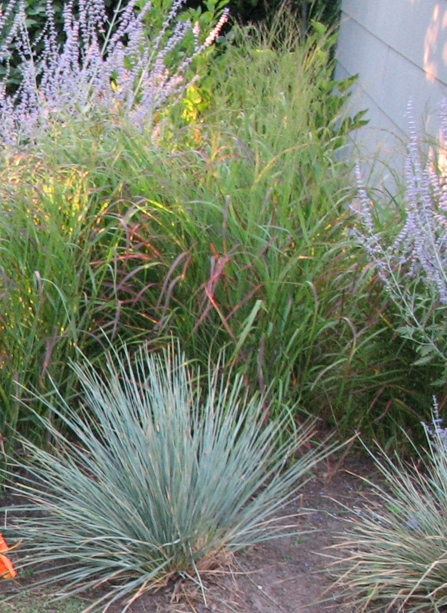 Grasses you 39 ll never have to mow ladell landscaping for Tall ornamental grasses for screening