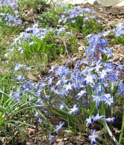 Spring Chionodoxa
