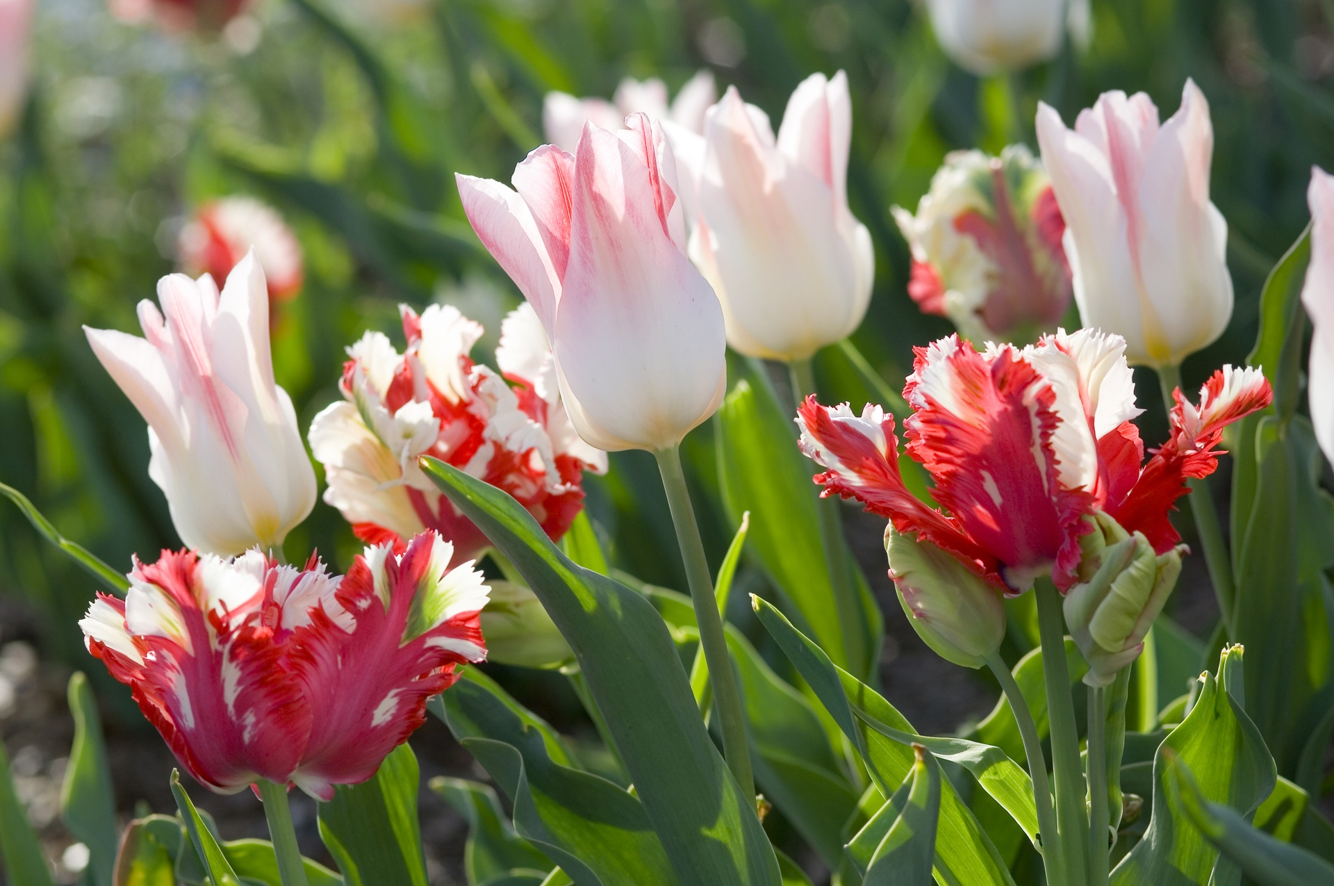 Plant Tulips This Fall For Spring Beauty Ladell Landscaping